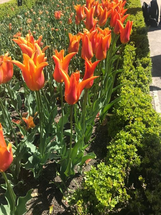 Tulipanes lira